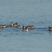 DRDeKeyser has added a photo to the pool:with Northern Shovelers
