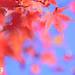 福壽山楓紅(Maple)