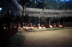 Bahamas 1988 (087) New Providence: Ardastra Gardens, Nassau