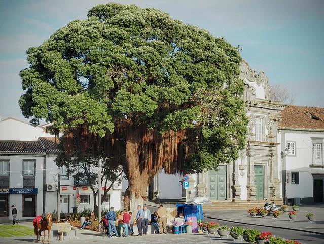 Un Metrosideros dans un village sur l'île Sao Miguel...