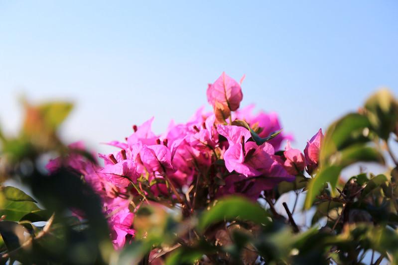 camogli bougainvillea flowers