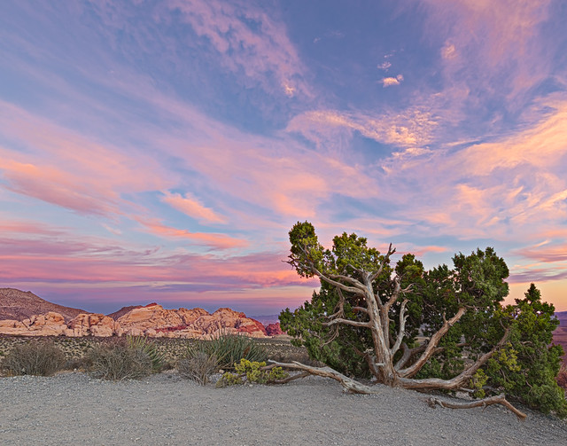 02469313-81-Juniper Tree at Sunset in Red Rock Canyon-1-HDR