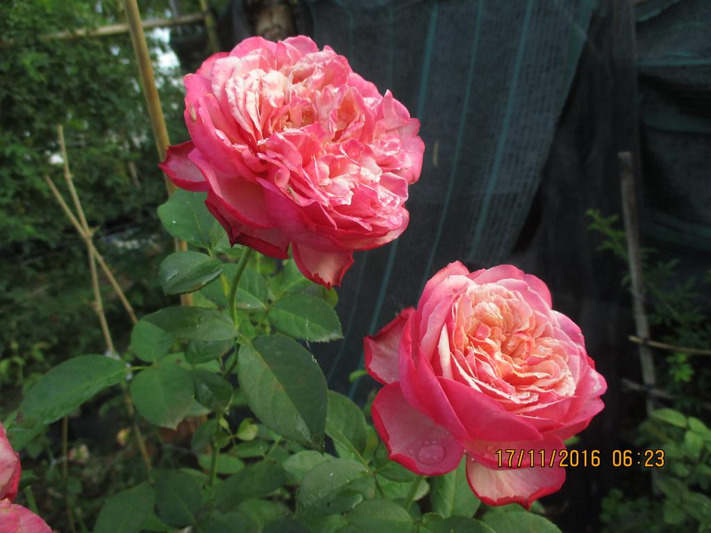 Hoa hồng bụi Kordes Jubilee Rose khoe sắc