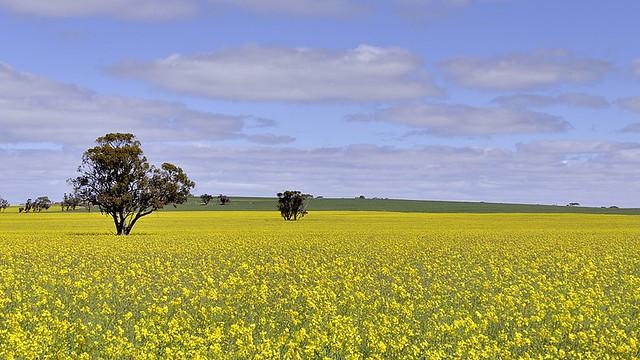 Australia, agricultural flowering