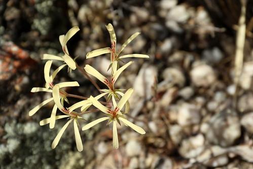 Pelargonium pallidoflavum