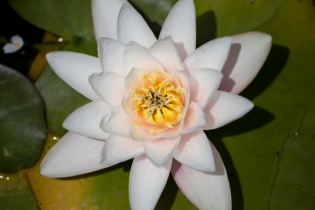 The Backyard Garden - Water Lilies
