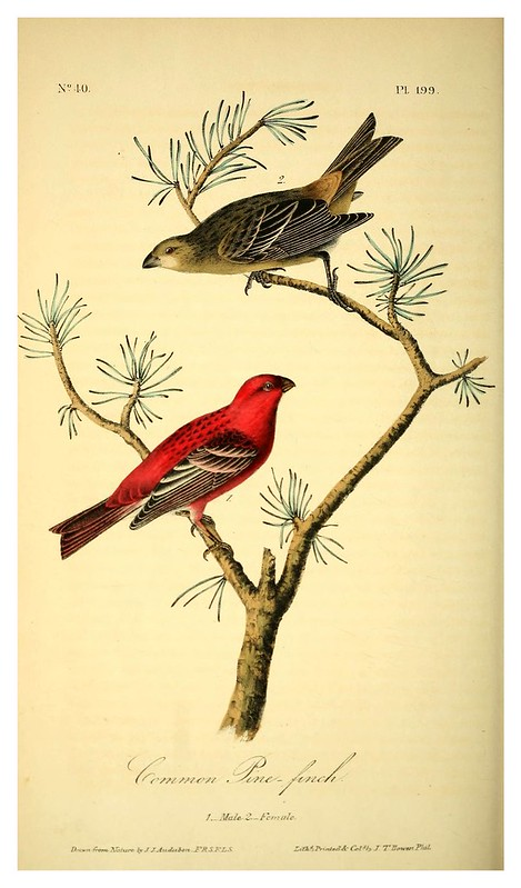 015- Pajaro del pino-vol3-1840-The birds of America…J.J. Audubon