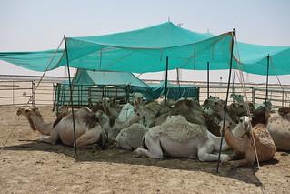Quintas de Camelos, Kuwait