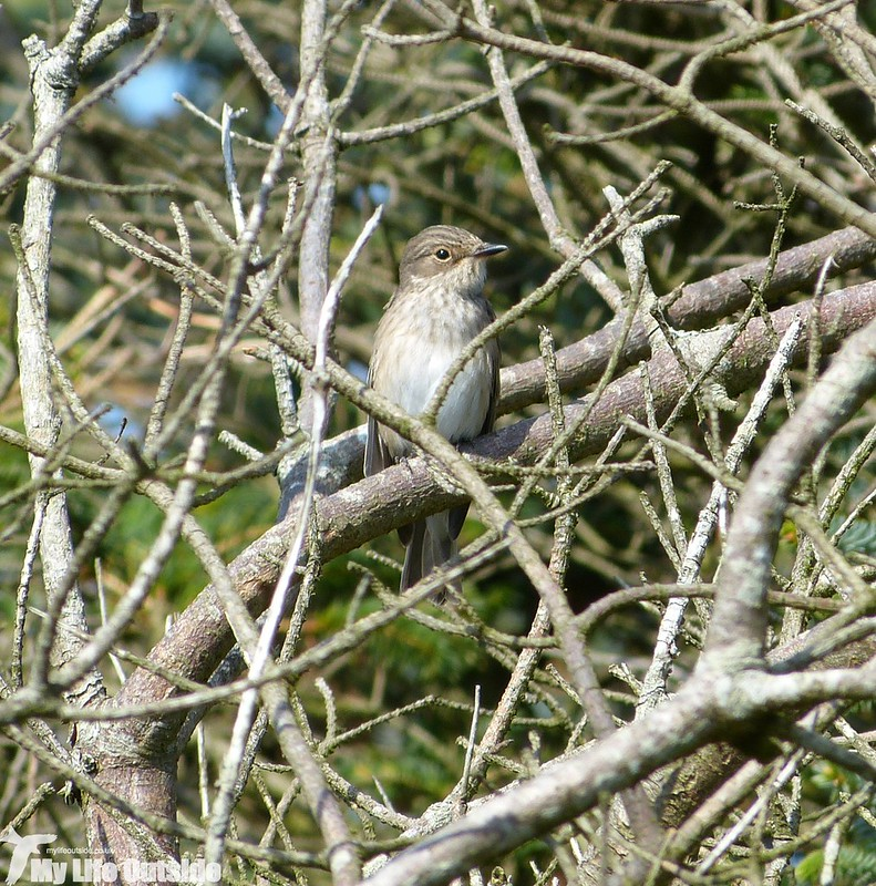 P1150678 - Spotted Flycatcher, Porth Maenmelyn