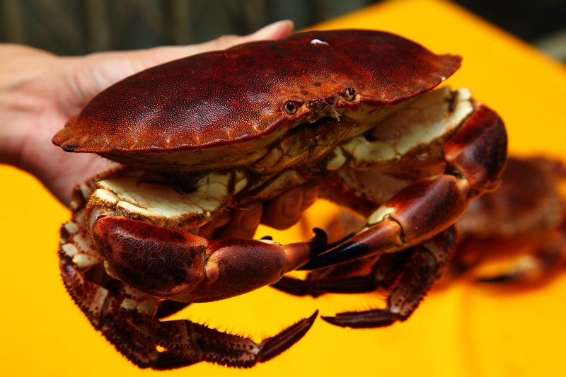 Live-French-Crab