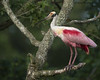 Roseate Spoonbill at rookery.........D800 by Larry Daugherty - back from long working vacation