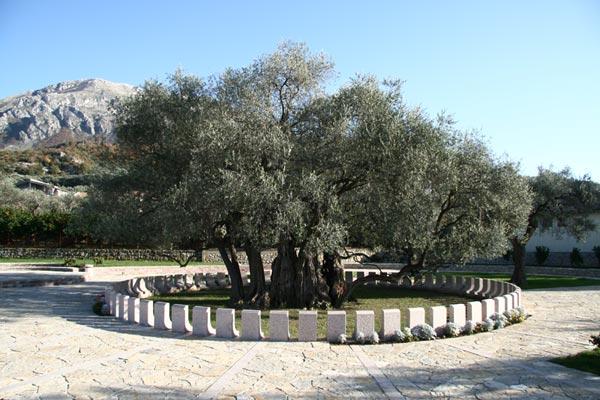 the-old-olive-tree-at-mirovica_6843539f55ec83b838818b7c57956ae2 (1)