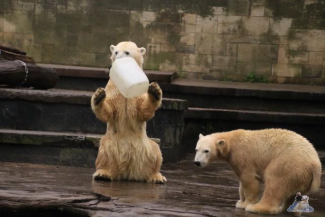 Eisbär Fiete im Zoo Rostock 17.10.2015  0184