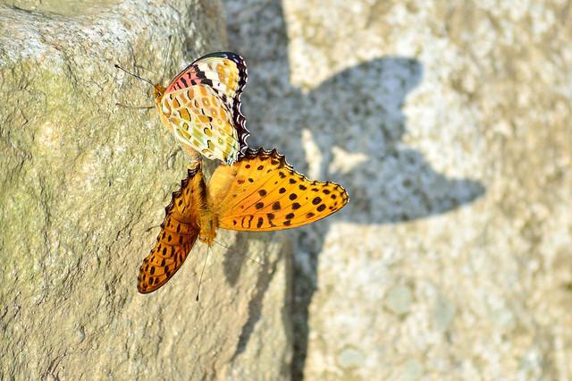 ツマグロヒョウモン Indian Fritillary