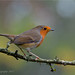 Erithacus rubecula by davolly59