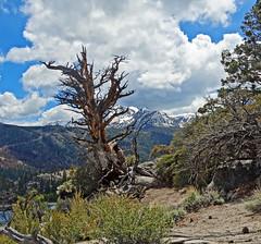 Still Standing, June Lake and Carson Peak, CA 5-15