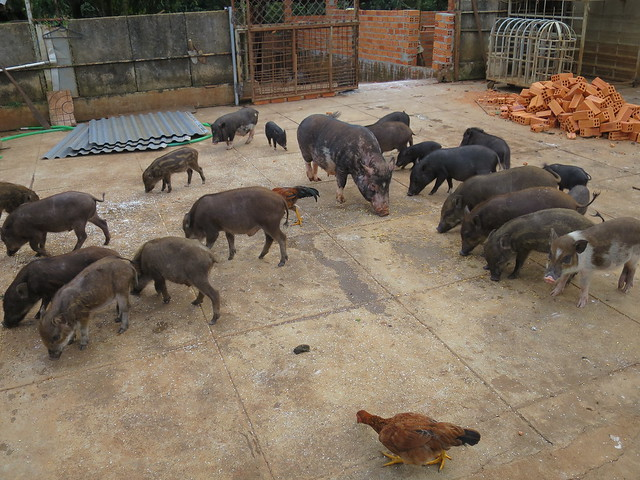 A native pig farm in Dak Lak
