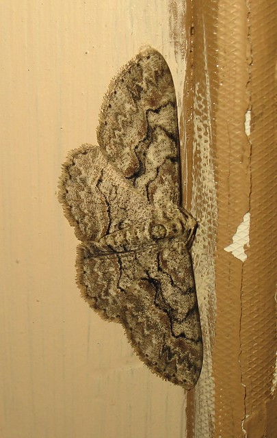 Christmas Morning Moth