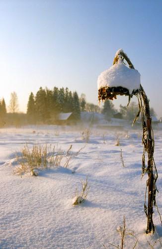 winter sky snow cold flower film sunshine analog finland photography pentax freezing slide arctic sunflower analogue northern meek humble lx fujivelvia kerava pentaxlx helianthusannuus auringonkukka 60degreesnorth sakarip