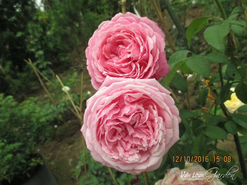 Soeur Emmanuelle Rose có form hoa tròn trịa màu sắc rất hấp dẫn