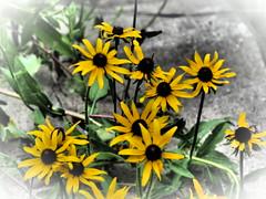 Wild Black-Eyed Susans, Milltown Indiana—Olympus Dramatic Tone