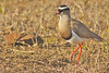 Crowned Lapwing in Eastern Cape, South Africa by cirdantravels