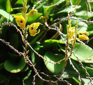Cyrtochilum tricostatum