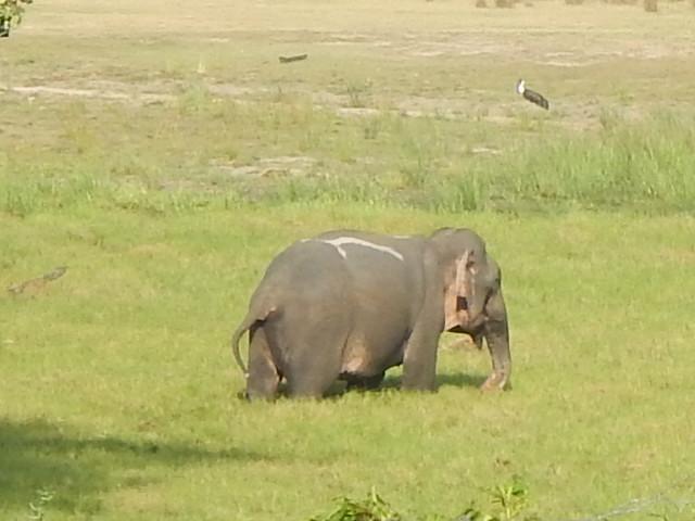 Asian Elephant 3