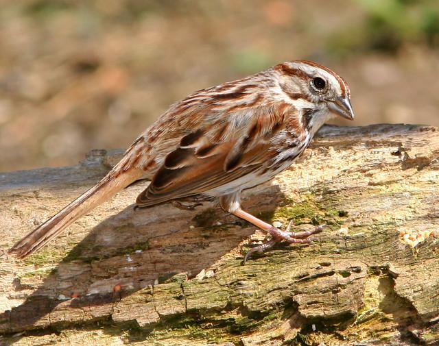 Song Sparrow 20d_5250