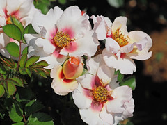 Rose, EYECONIC Pink Lemonade, バラ, アイコニック ピンク レモネード,