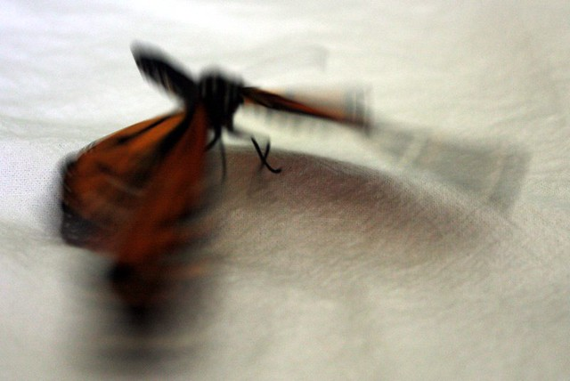 blurry image of a monarch rapidly fluttering its wings