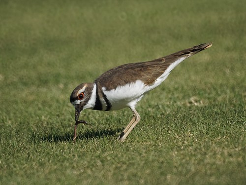 Killdeer eating a worm