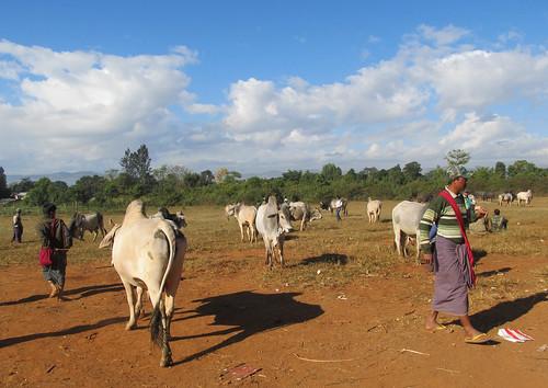 Heho: le marché aux  buffles et taureaux