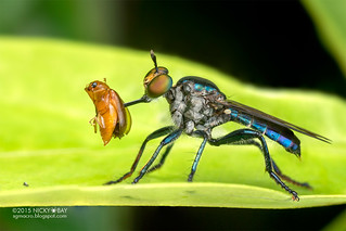 Robberfly (Asilidae) - DSC_8866