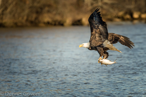 bird water sunrise eagle action wildlife raptor jamesriver